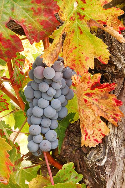 top-10-szőlőfajta-cabernet-franc
