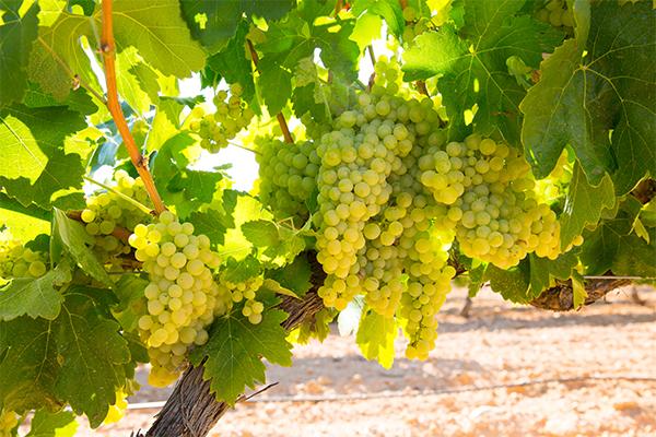 top-10-szőlőfajta-chardonnay